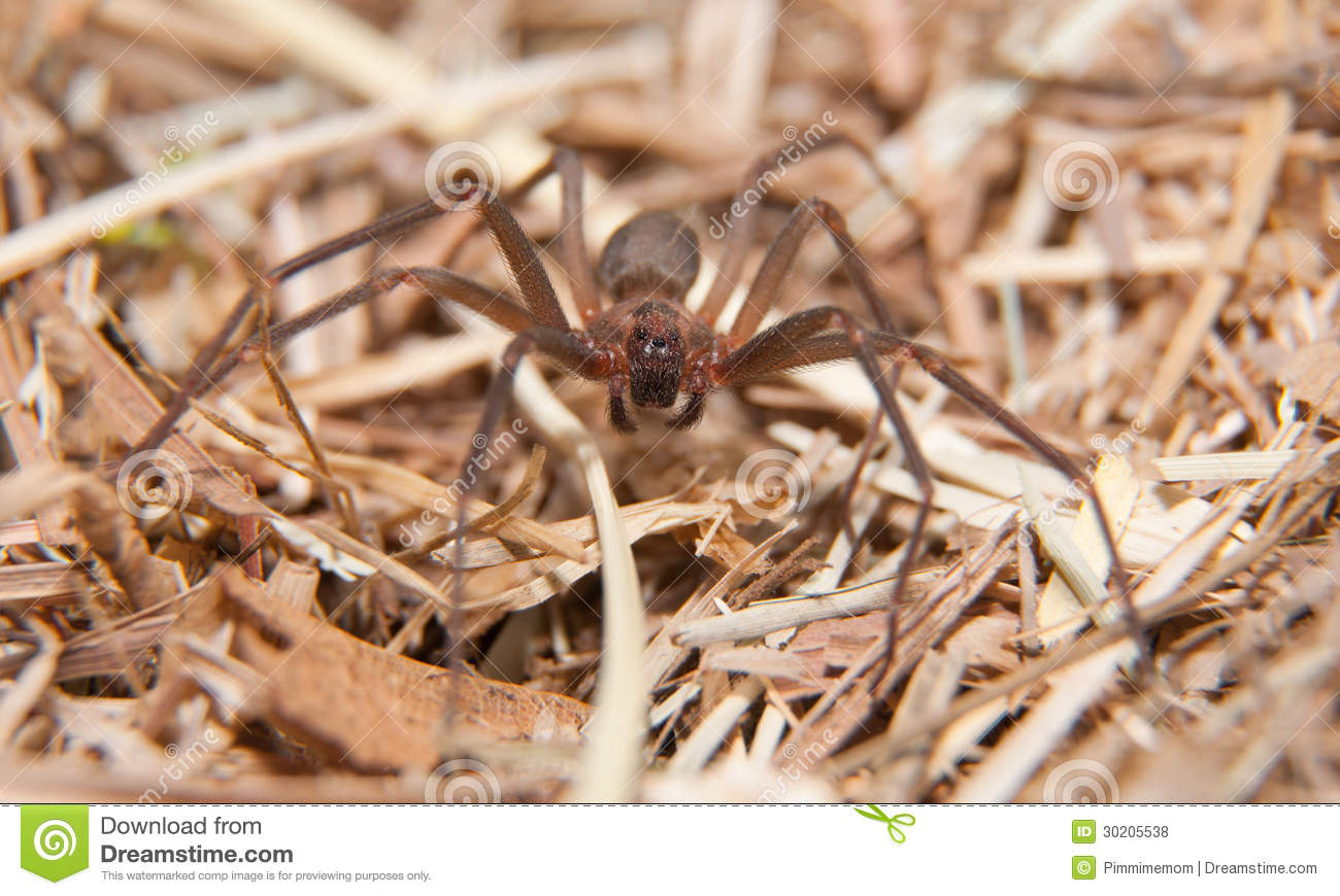 Brown Recluse, a venomous spider