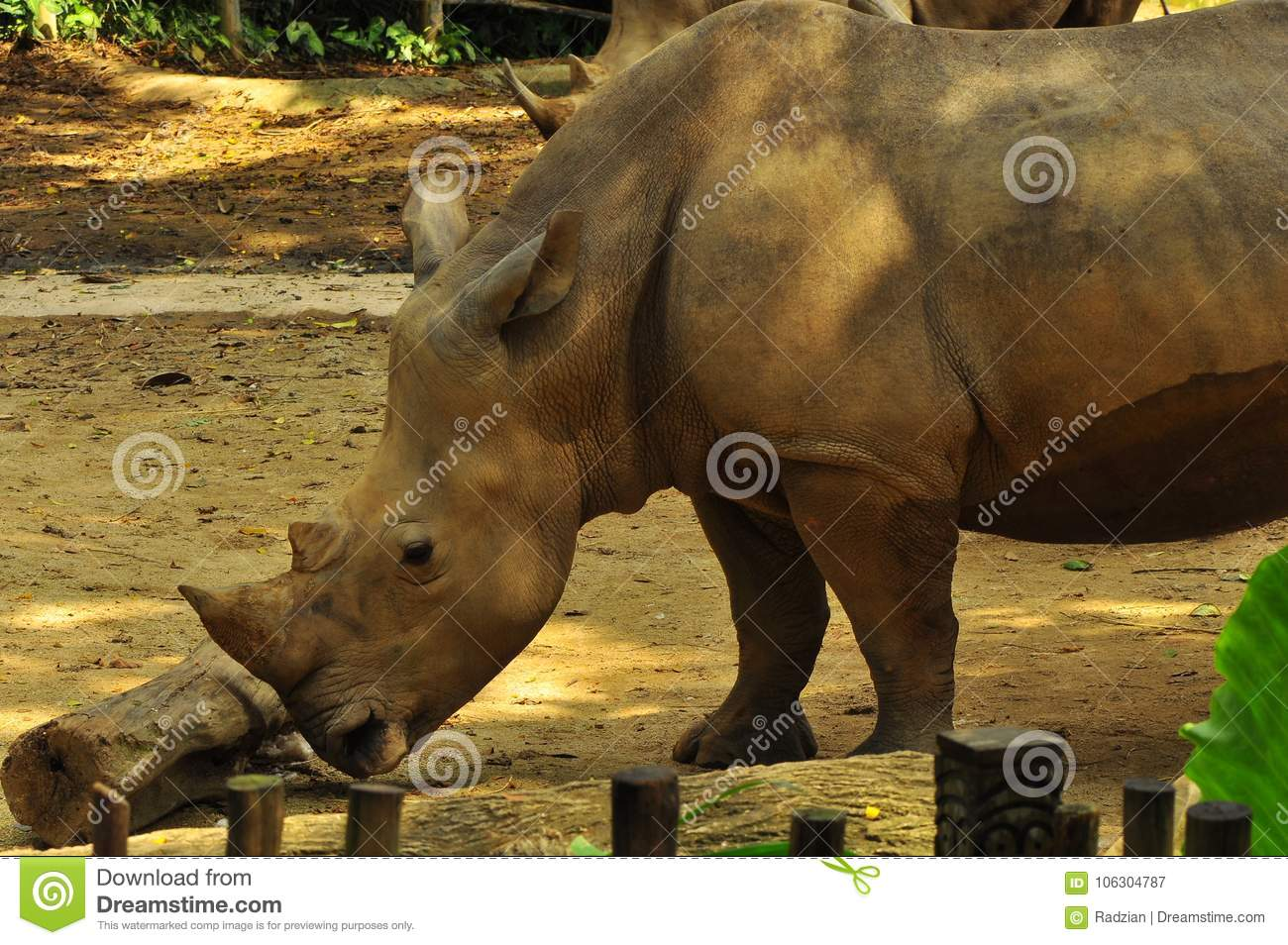 Rhinoceros in Singapore Zoo