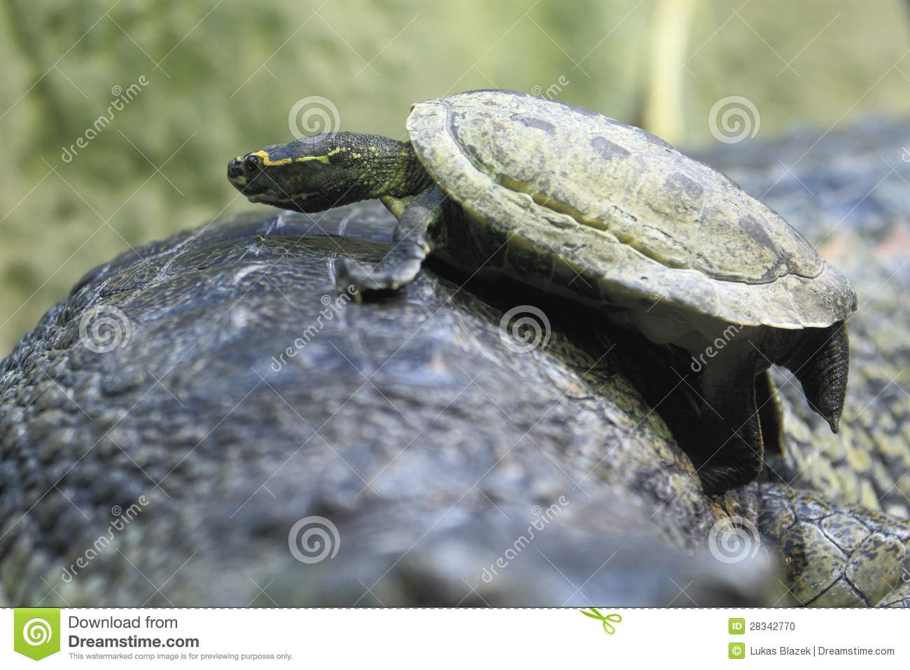 Brown Roofed Turtle Stock Photo Image Of Climbing