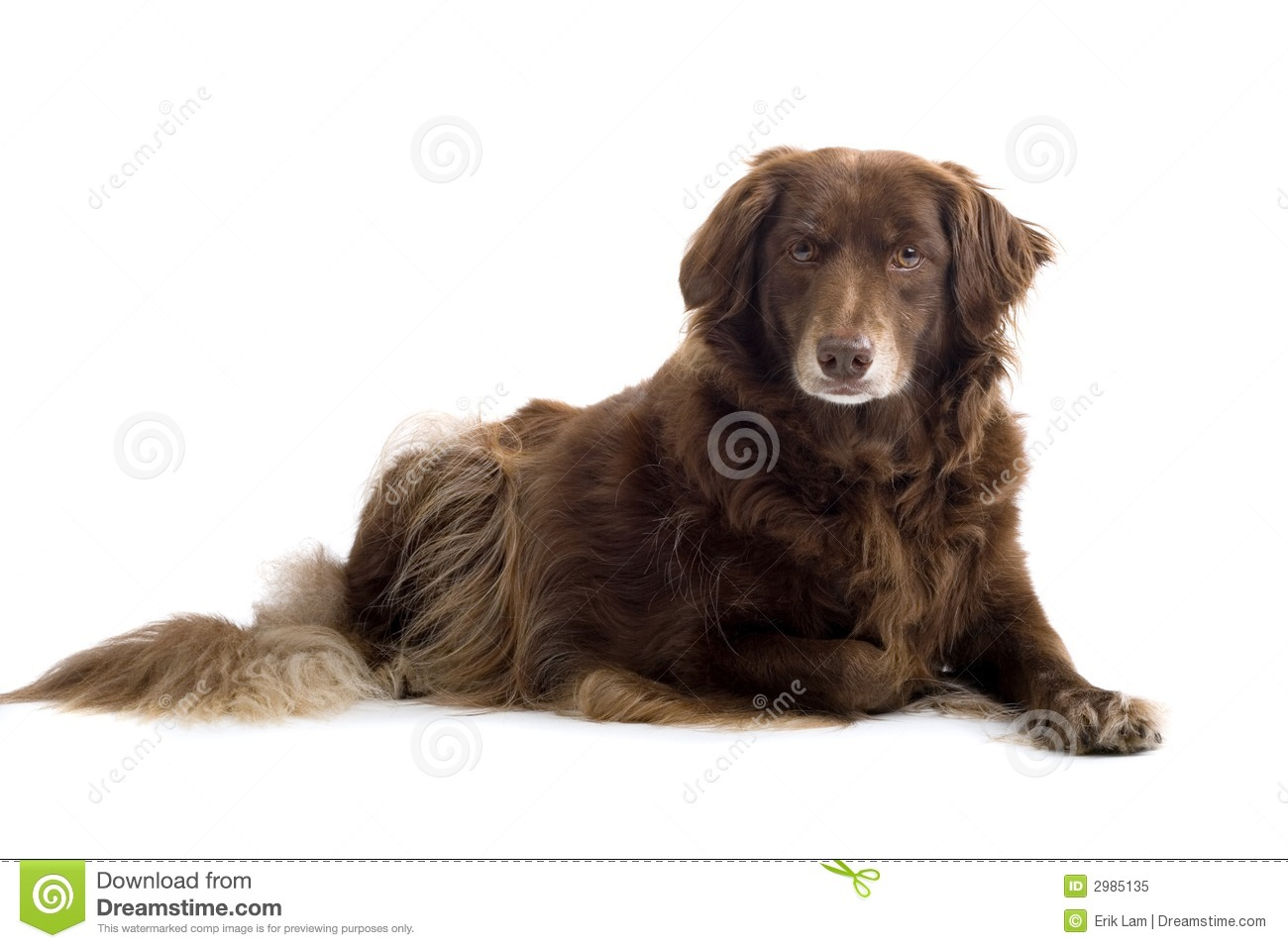 Brown Setter Royalty Free Stock Photo - Image: 2985135