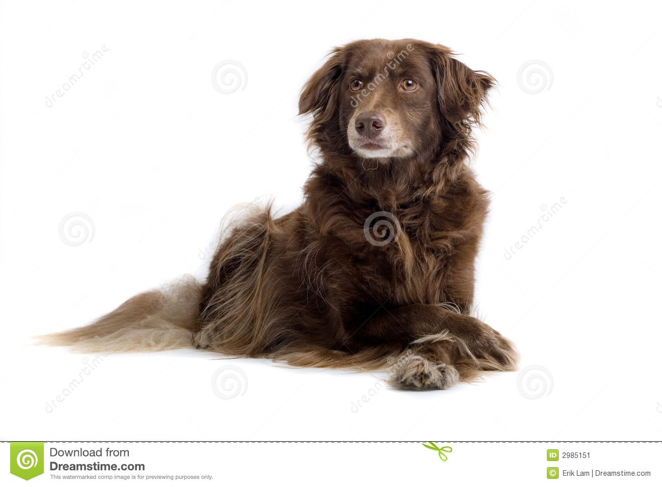 Brown Setter Stock Image - Image: 2985151