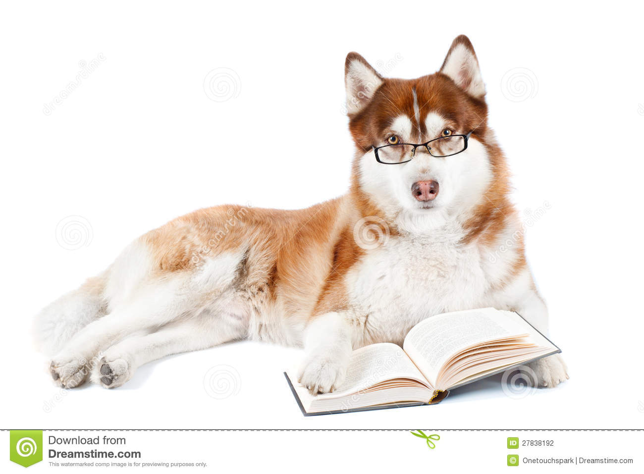 Brown Siberian Husky Dog Reading Book In Specs Stock Photography ...