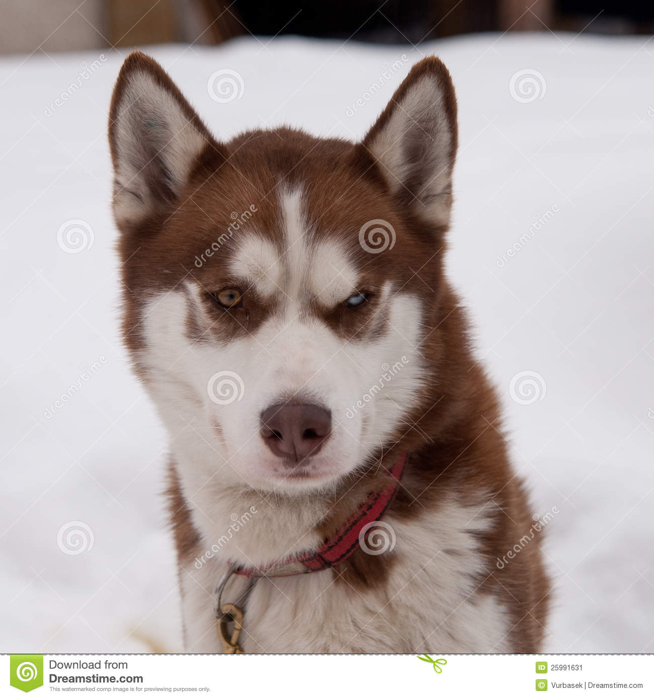 Pictures of Brown Siberian Husky Puppies With Blue Eyes
