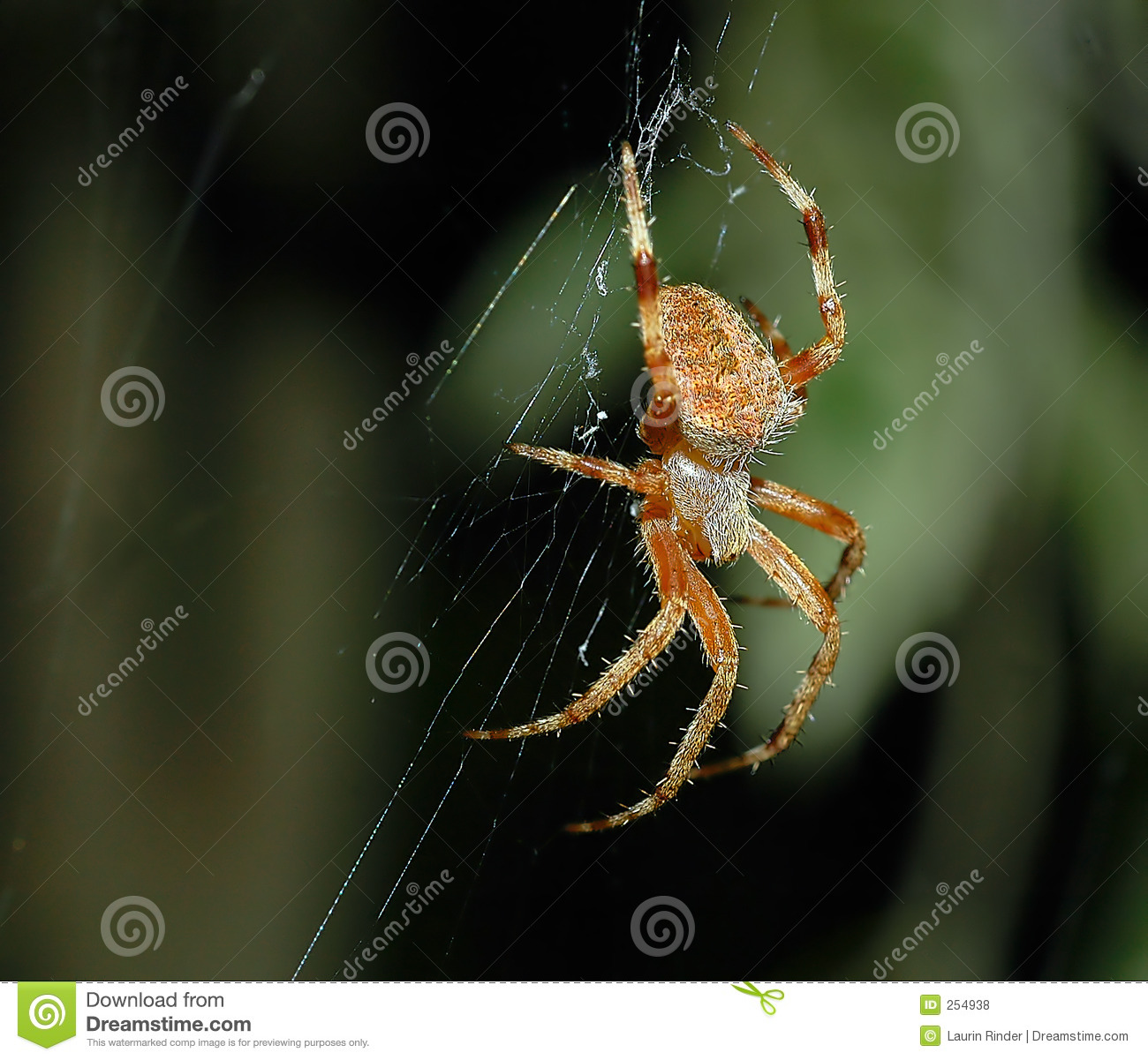 Brown Spider Royalty Free Stock Photos Image