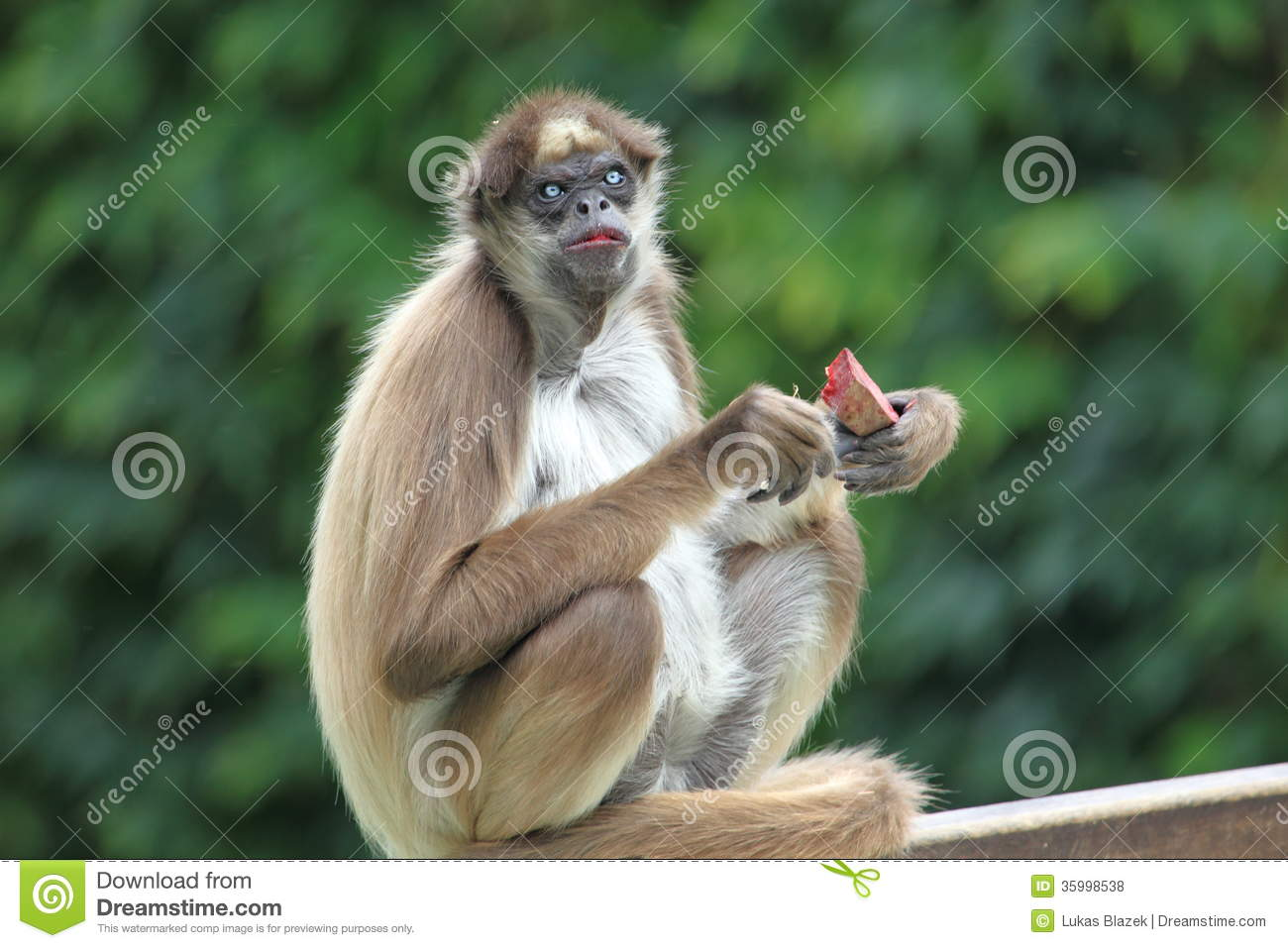 brown spider monkeys essay The brown spider monkey or variegated spider monkey (ateles hybridus) is a  critically endangered species of spider monkey, a type of new world monkey,  from.