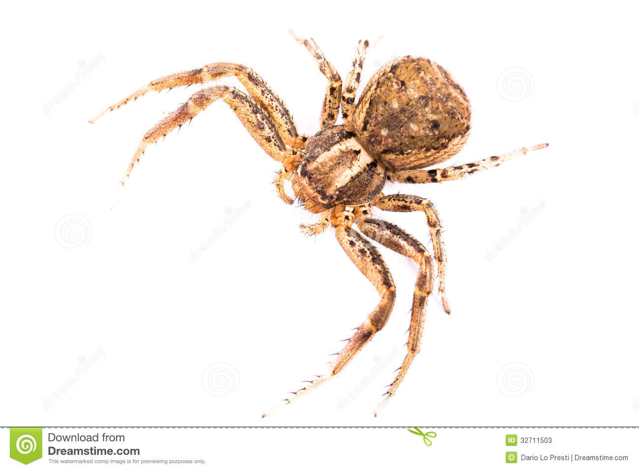 Brown Spider From Top Stock Photos Image