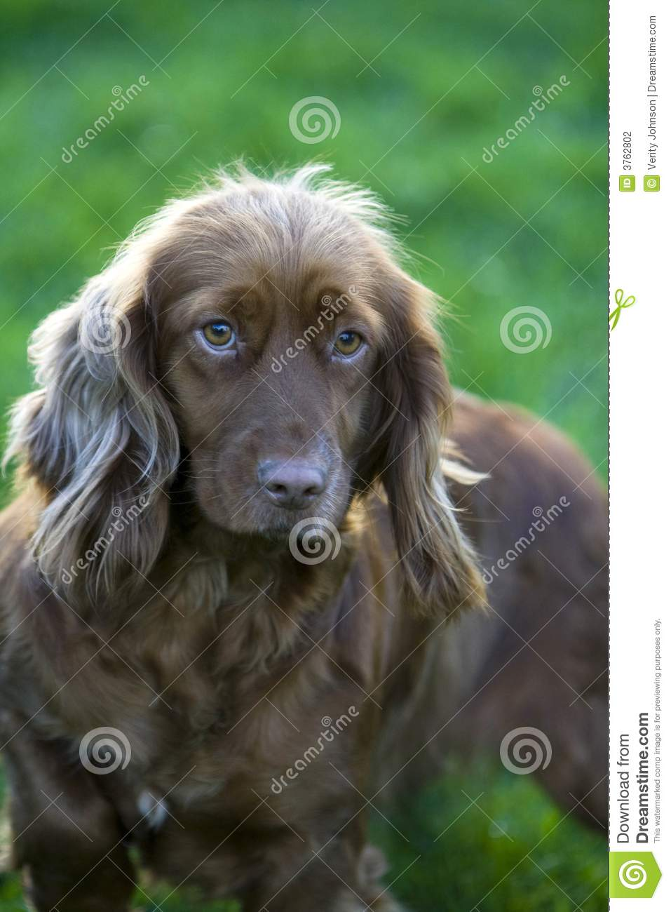 Brown Springer Spaniel Stock Photography Image 3762802
