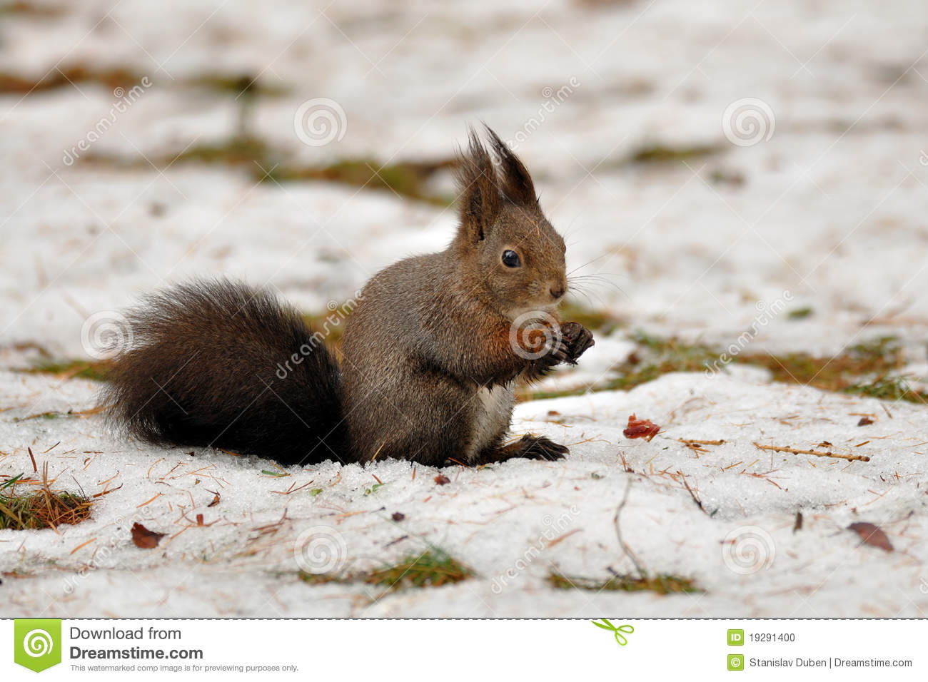 Brown squirrel in winter
