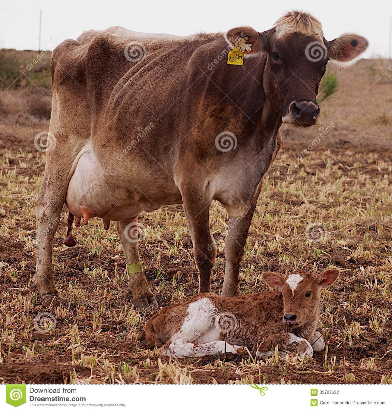 Holstein Friesian Calf Brown Swiss Cow With H...