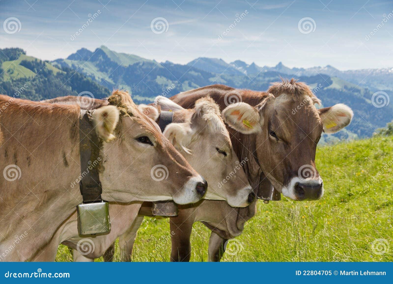 Fotos de vacas brown swiss 60