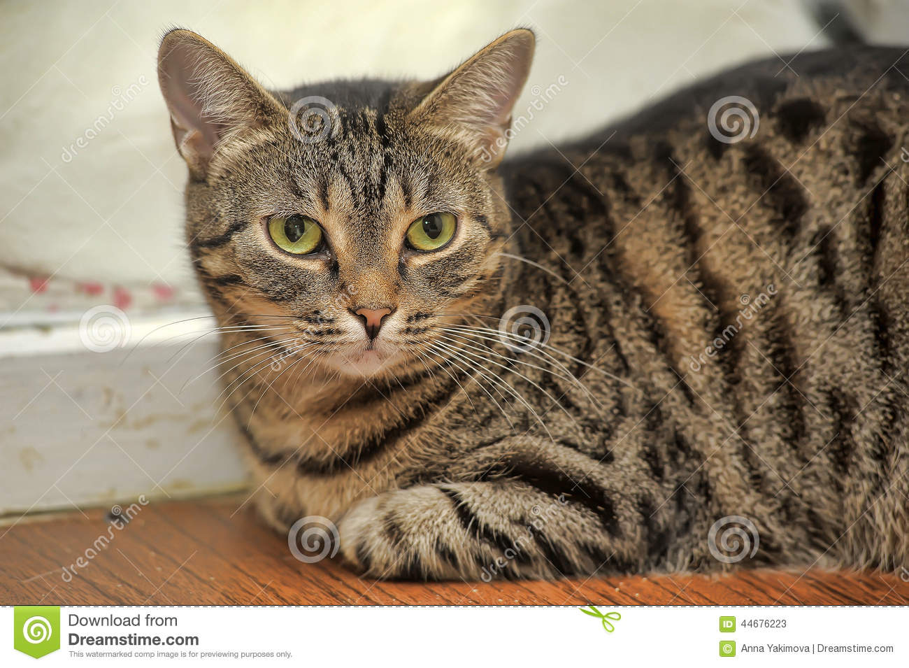 brown tabby european shorthair cat stock image image of causious
