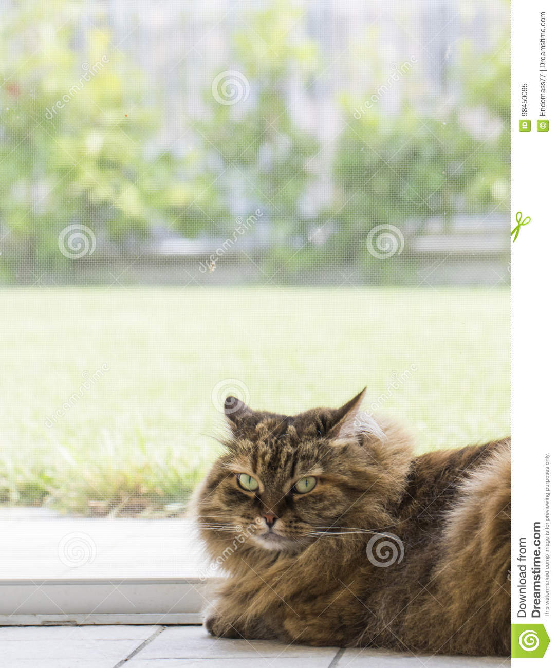 Adorable Haired Cat Of Siberian Breed In Livestock Hypoallergenic Domestic Kitten With Long Hair