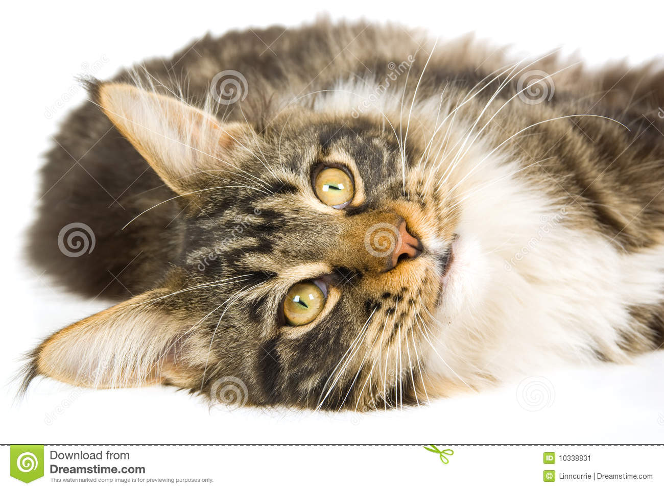 Brown Tabby Maine Coon Kitten On White Background Stock ...