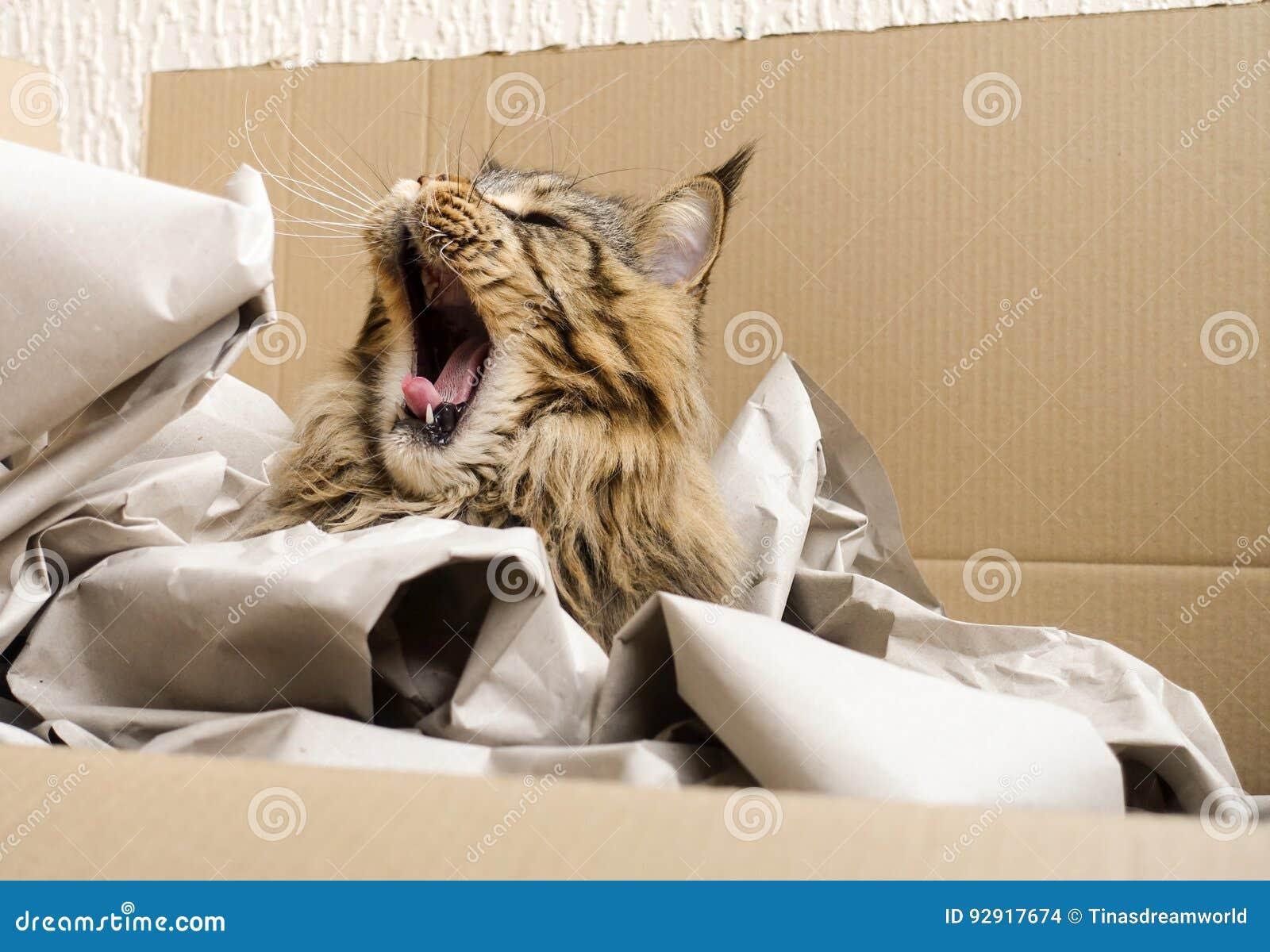 Brown Tabby Maine Coon kota ziewanie