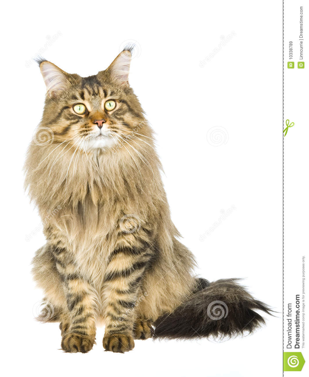Brown Tabby Maine Coon On White Background Royalty Free ...