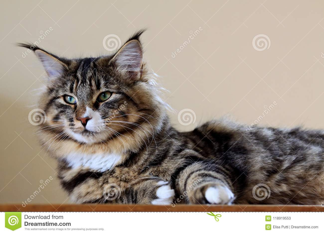 Norwegian Forest Cat Female Indoors