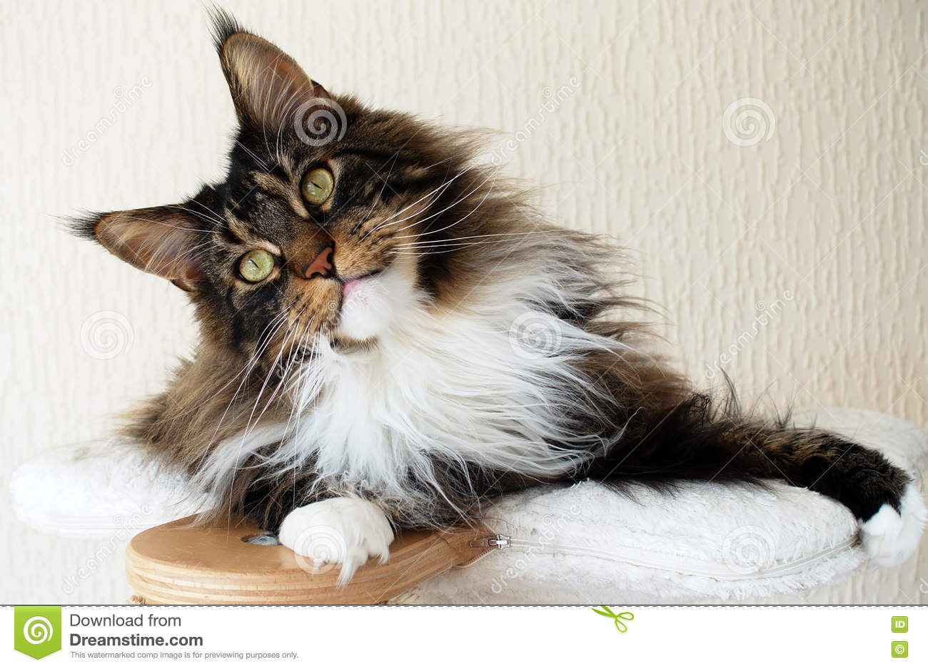 Brown Tabby Maine Coon | www.pixshark.com - Images ...