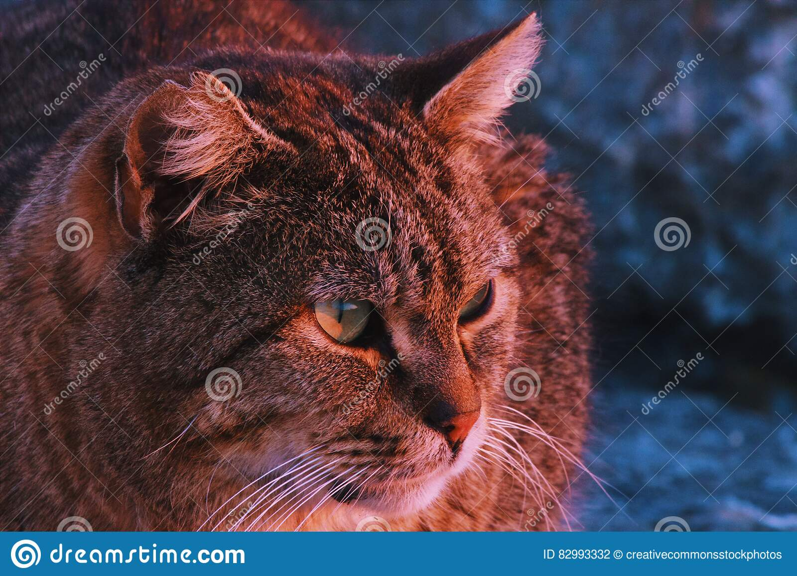 Brown Taby Cat
