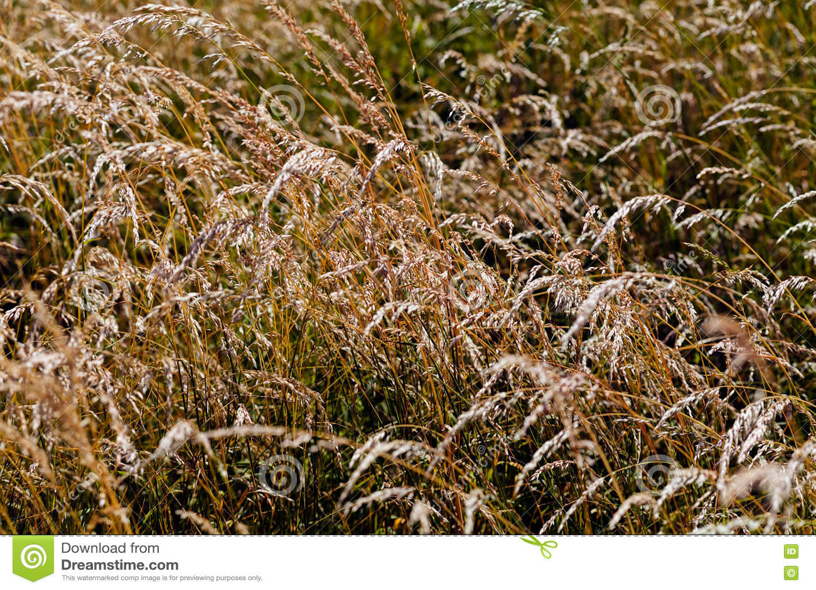 tall grass field walking brown tall grass in field tall grass in field stock photo image of brown meadow