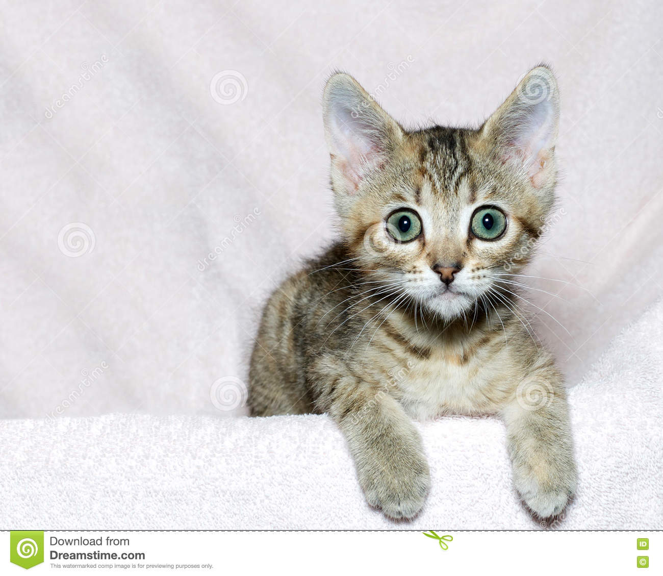 brown and tan kitten on pink stock photo image of fluffy laying