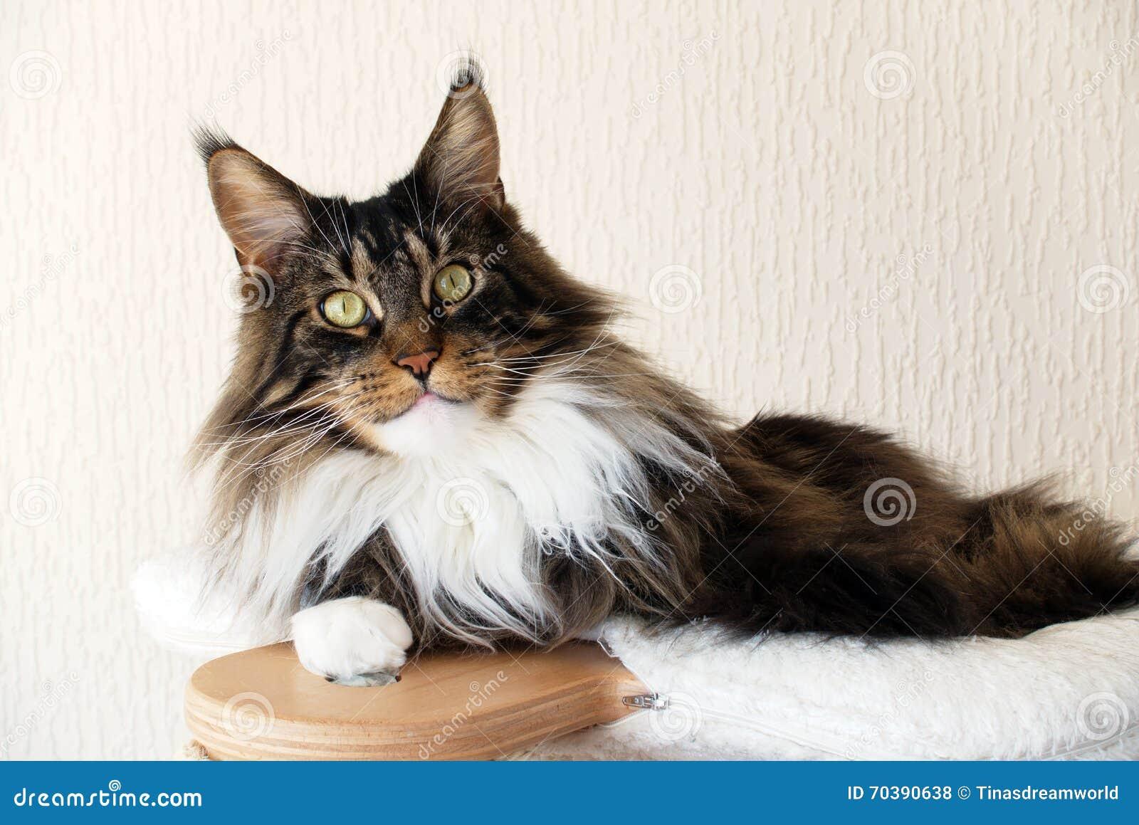 brown tigr avec le chat blanc de maine coon sur l 39 arbre. Black Bedroom Furniture Sets. Home Design Ideas