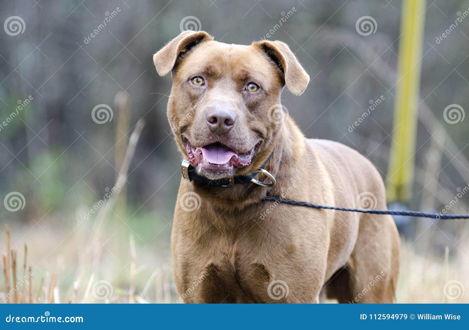 Chocolate Labrador Pitbull Mixed Breed Dog Stock Image Image Of