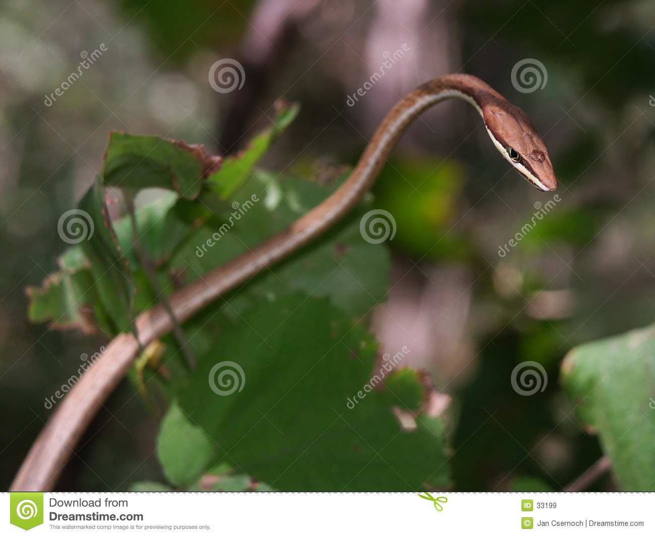 Download Brown Vine snake stock image. Image of creeping, forest - 33199