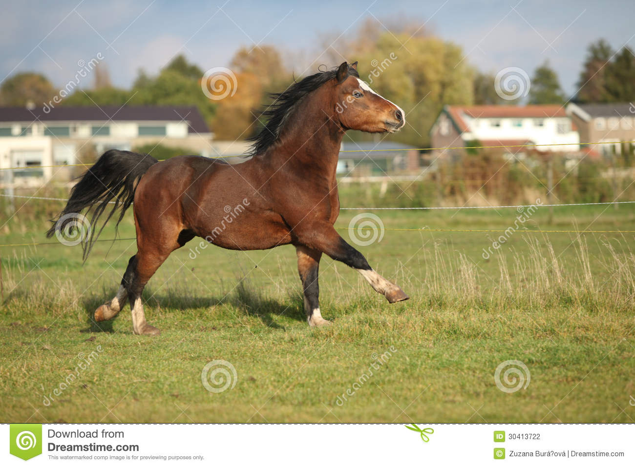 Brown Welsh Mountain Pony Stallion With Black Hair