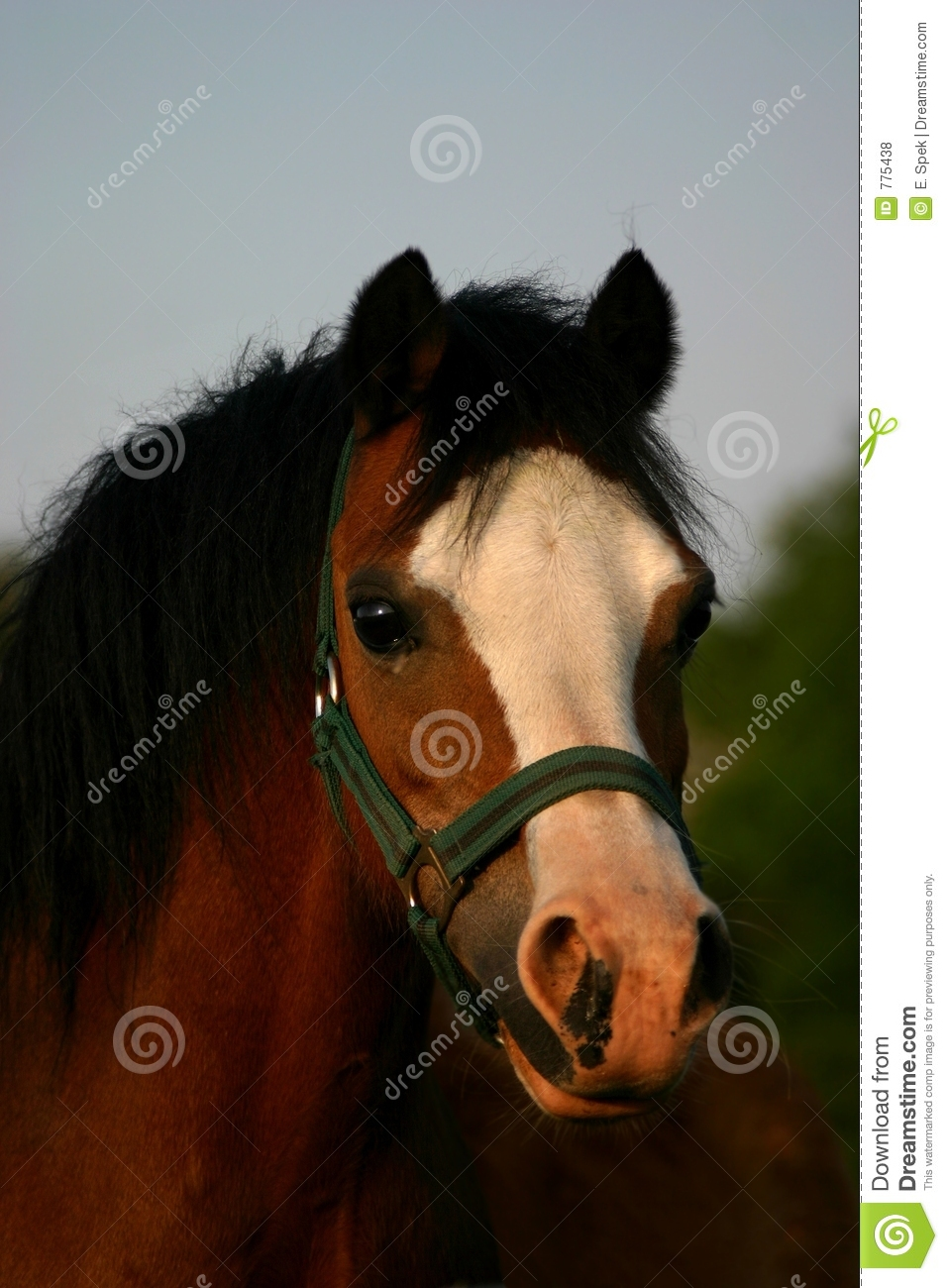 Brown Welsh Pony Stock Photo Image Of Peaceful Eyes
