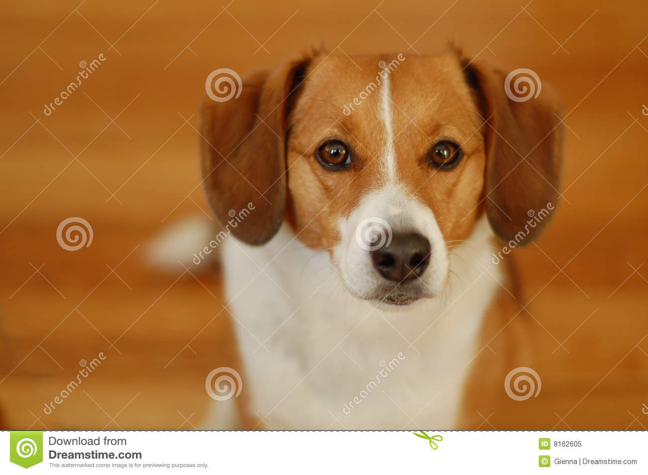 Brown And White Dog Brown and white beagle dog
