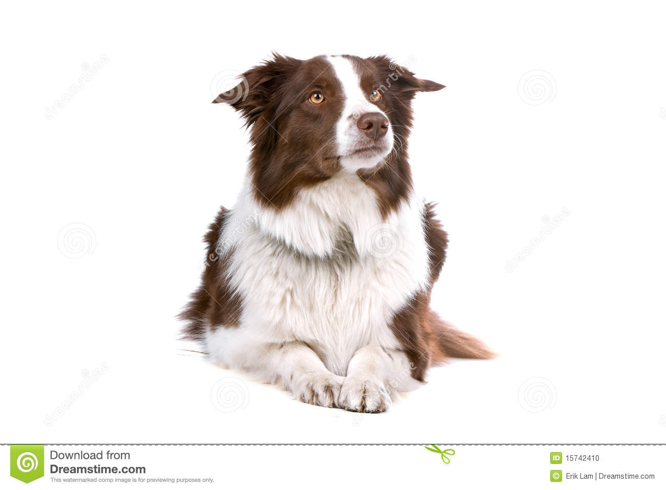 Brown And White Dog Brown and white border collie