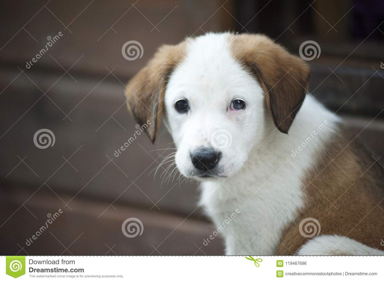Brown And White Border Collie Mix Puppy Picture Image 119467696