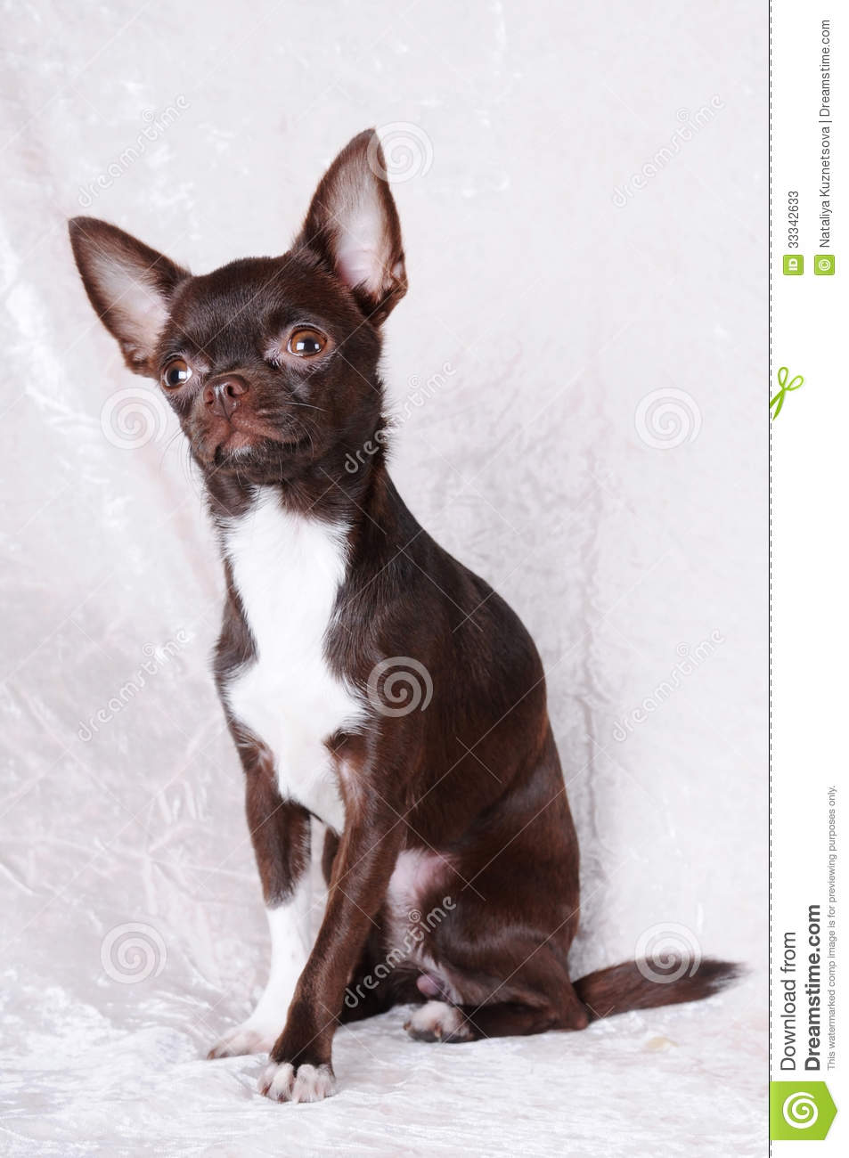 brown and white chihuahua brown and white chihuahua portrait stock image image of 8789