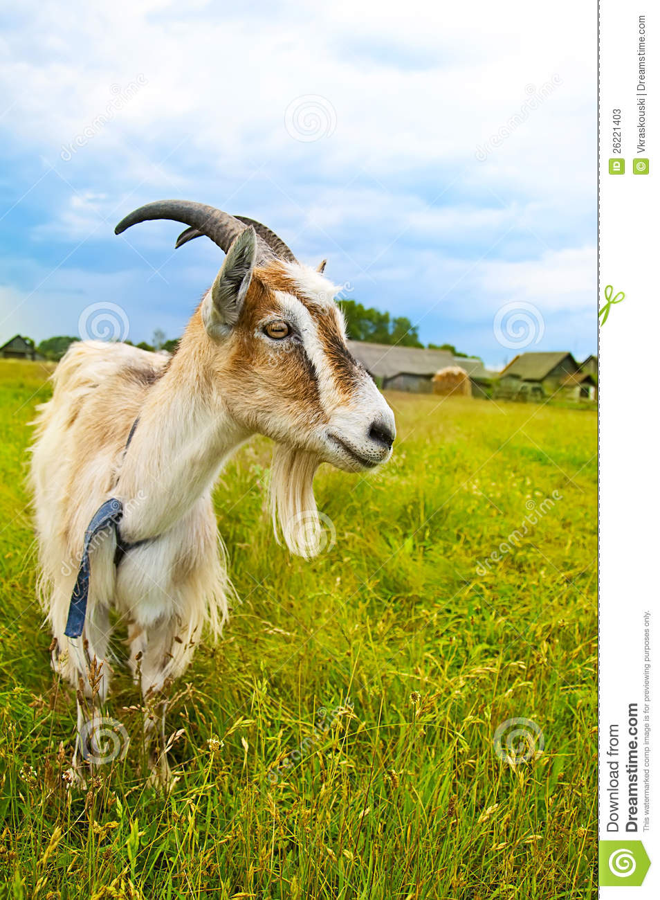 Brown And White Goat In Th Field Stock Image Image 26221403