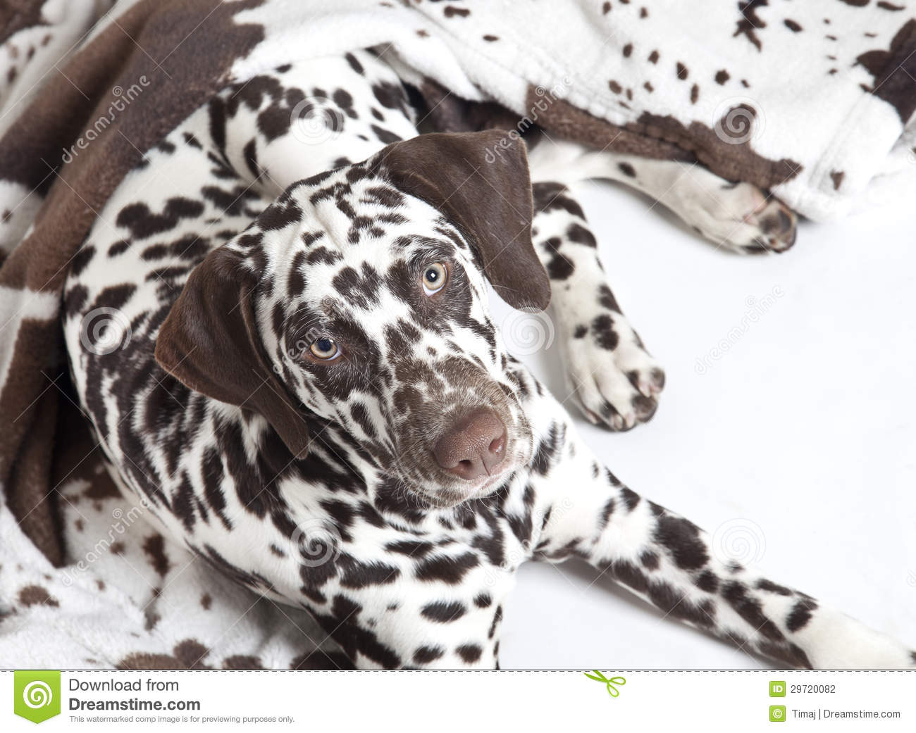 Dalmatian Dog Puppy Stock Photo Image Of Dalmatian