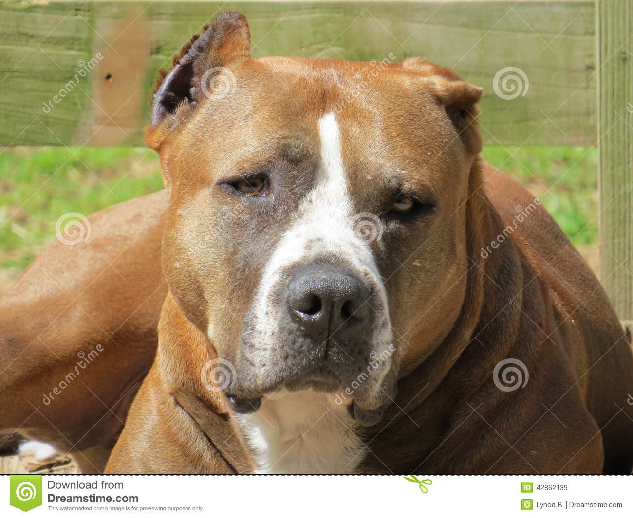 Brown White Pit Bull Type Dog Stock Image Image Of Dogs