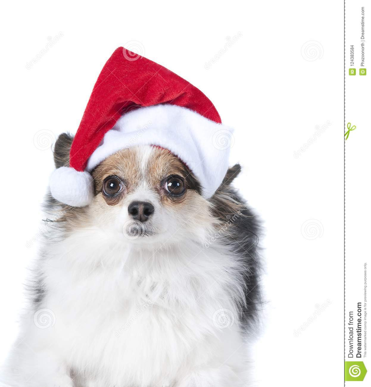 ad857c304 Brown And White Puppy Dog With Holiday Christmas Santa Hat Isolated ...
