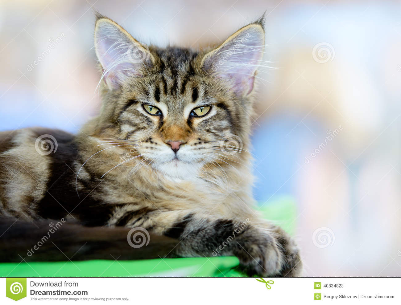 Brown White Tabby Maine Coon Cat Stock Image Image 40834823