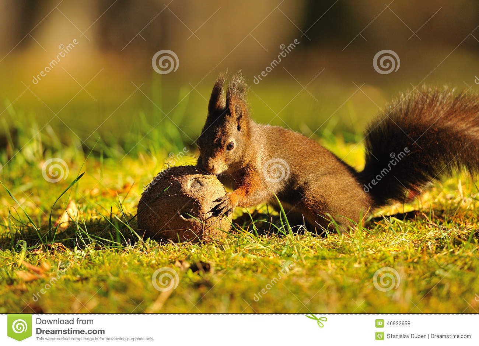 Brown wiewiórka z koksem