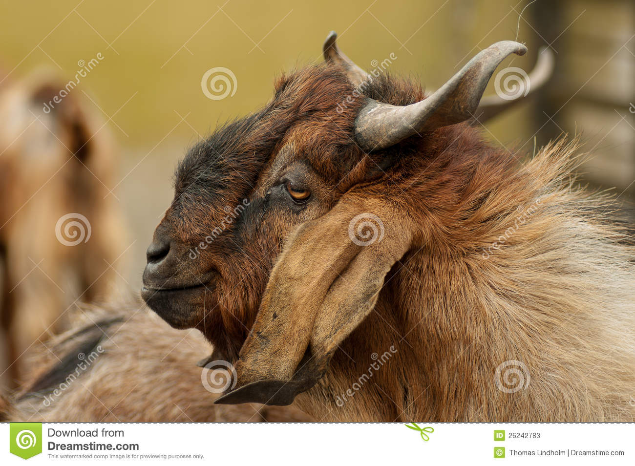 funny looking goat - photo #32