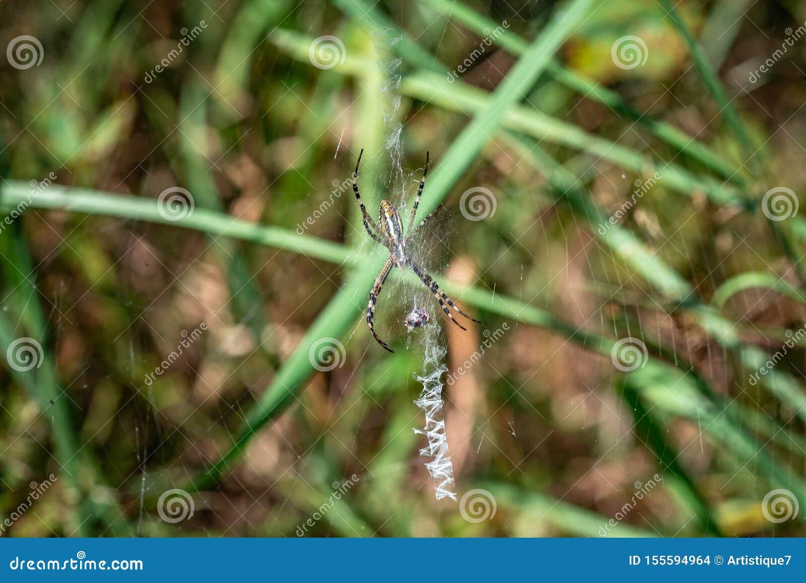 Bruennichi del Argiope de la araña que se sienta en su web con una víctima
