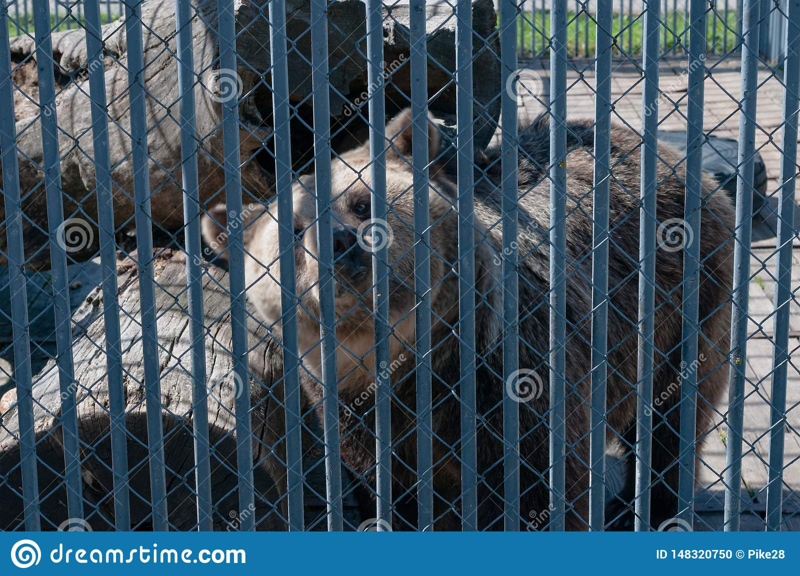 Bruin draag achter de tralies bij de dierentuin