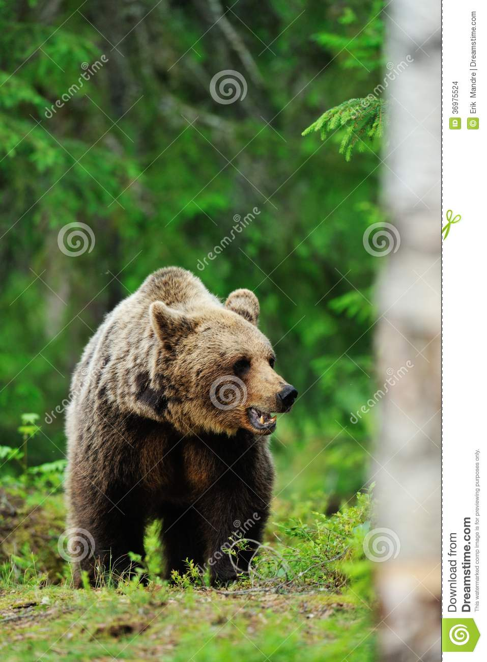 Bruin draag in hout