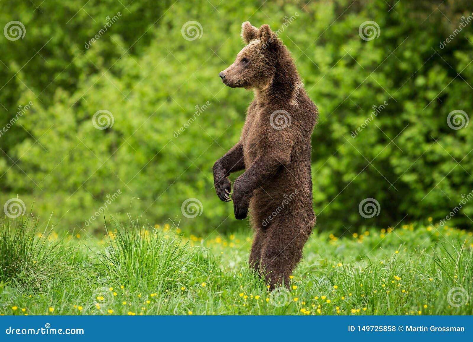 Bruin draag Ursus-arctos status