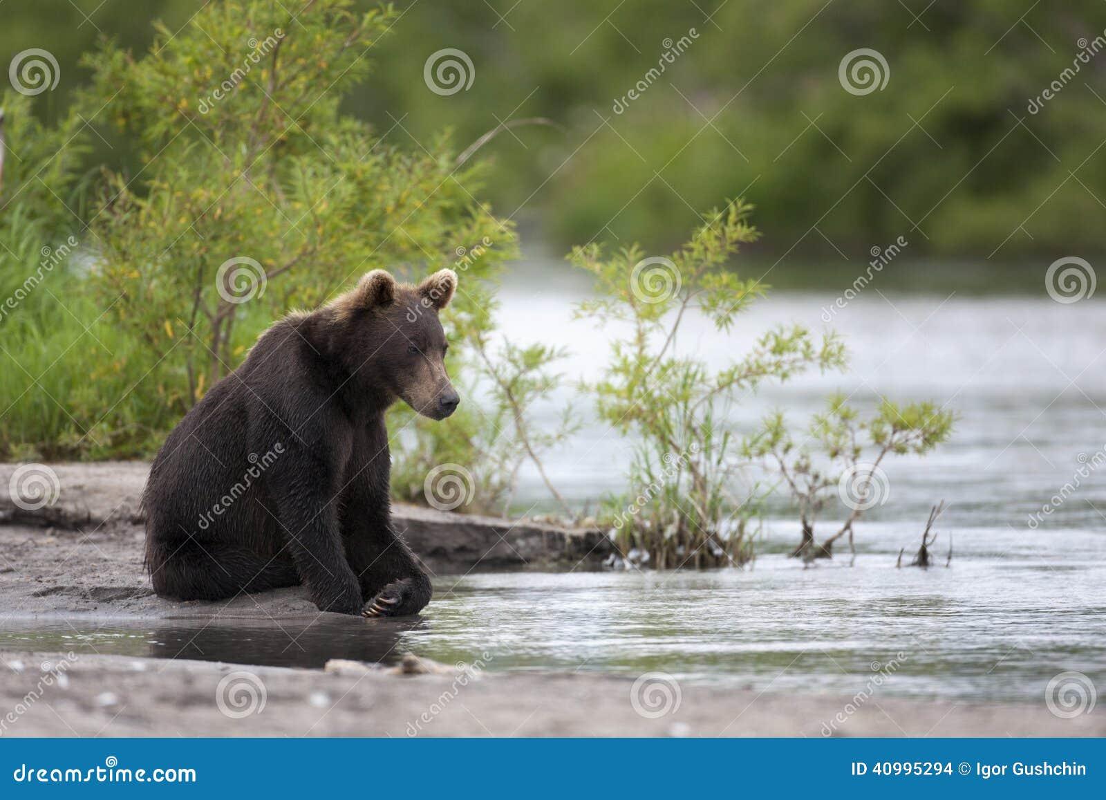 Bruin draag zit op de rivierbank