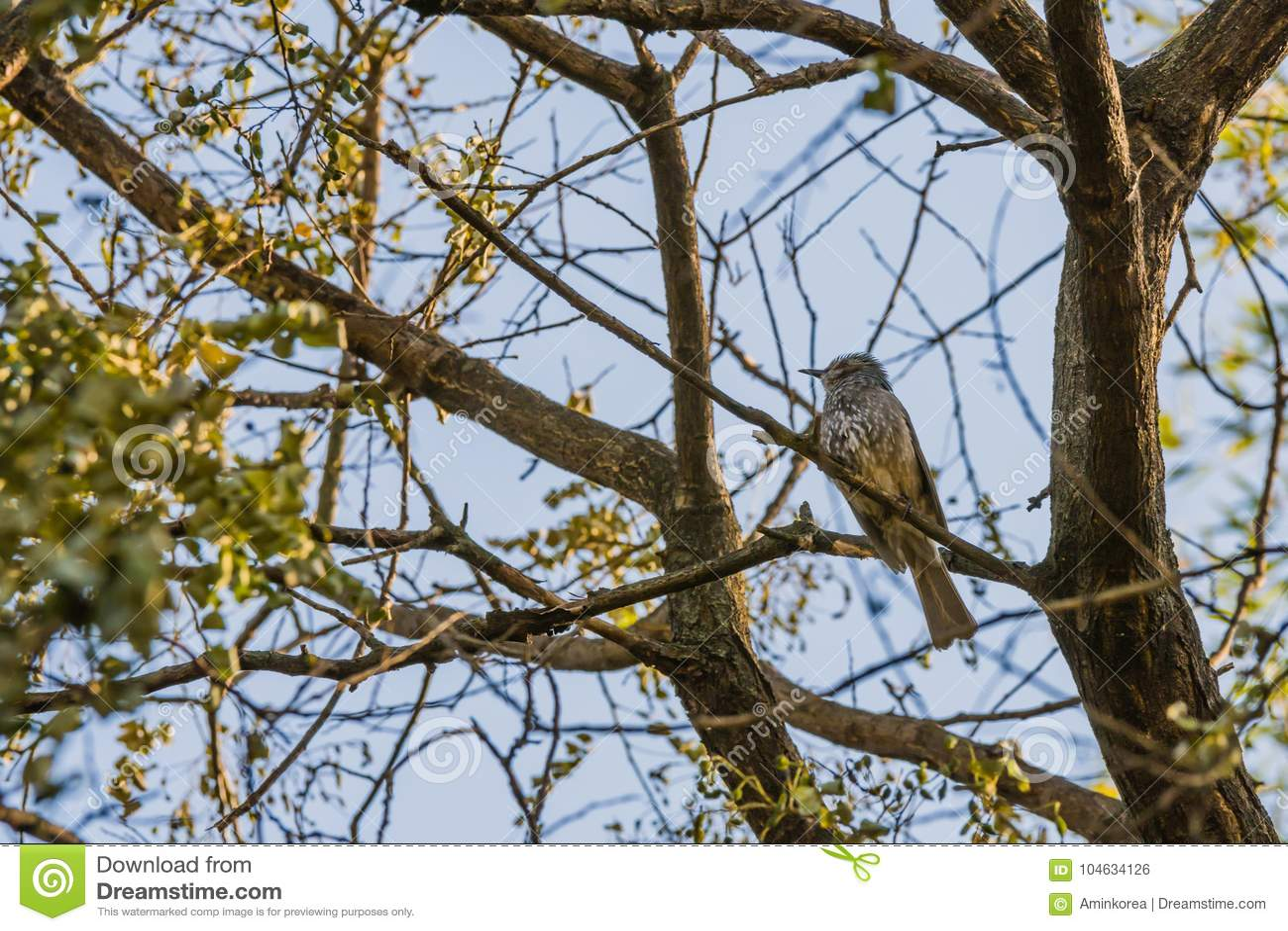 Download Bruin-eared Bulbul Neergestreken Op Een Boomtak Stock Foto - Afbeelding bestaande uit groen, up: 104634126