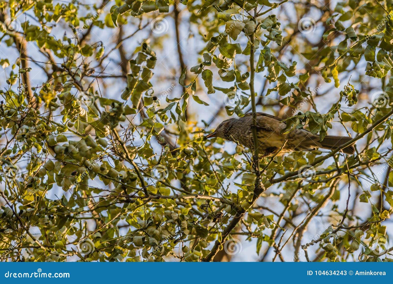 Download Bruin-eared Bulbul Neergestreken Op Een Boomtak Stock Afbeelding - Afbeelding bestaande uit ogen, vogelobservatie: 104634243