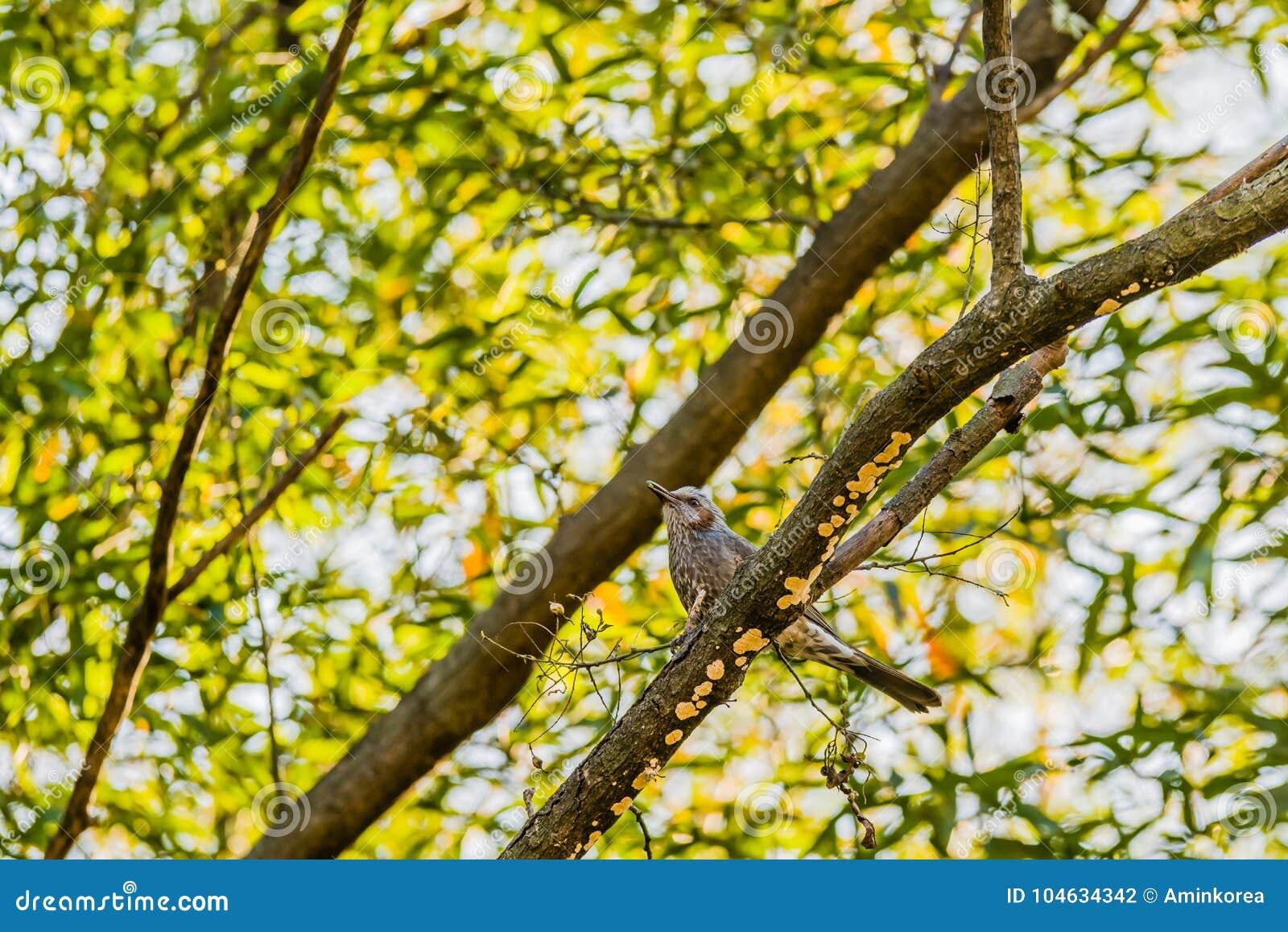 Download Bruin-eared Bulbul Neergestreken Op Een Boomtak Stock Foto - Afbeelding bestaande uit kijk, lied: 104634342