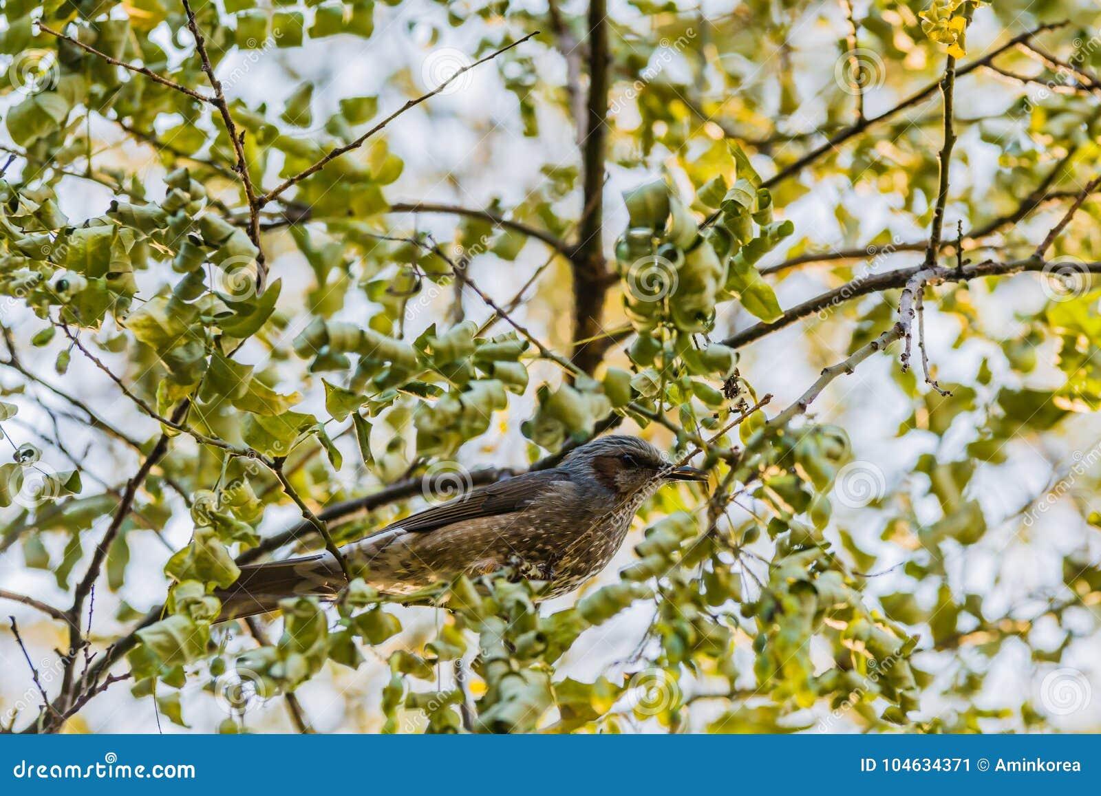 Download Bruin-eared Bulbul Neergestreken Op Een Boomtak Stock Afbeelding - Afbeelding bestaande uit fauna, park: 104634371