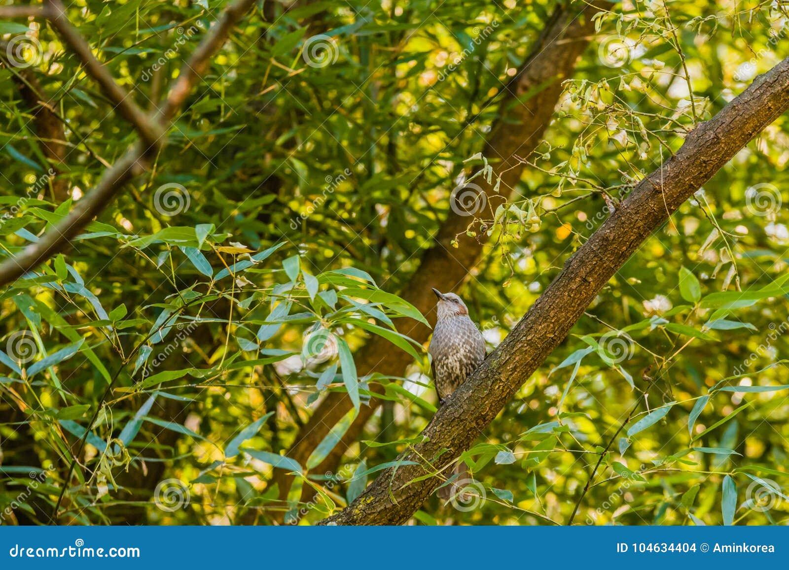 Download Bruin-eared Bulbul Neergestreken Op Een Boomtak Stock Foto - Afbeelding bestaande uit mooi, perching: 104634404